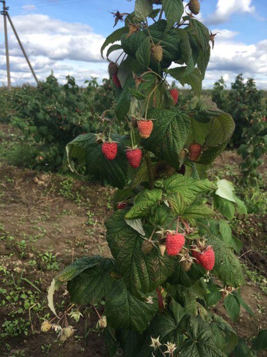 Малина, клубника, голубика, яблоки - выбирайте готовые фермы или сажайте на чистой земле